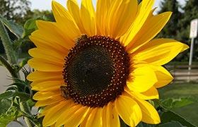 Sonnige Blumengrüße – Prämierung nicht vergessen - Sonnenblumenwettbewerb!